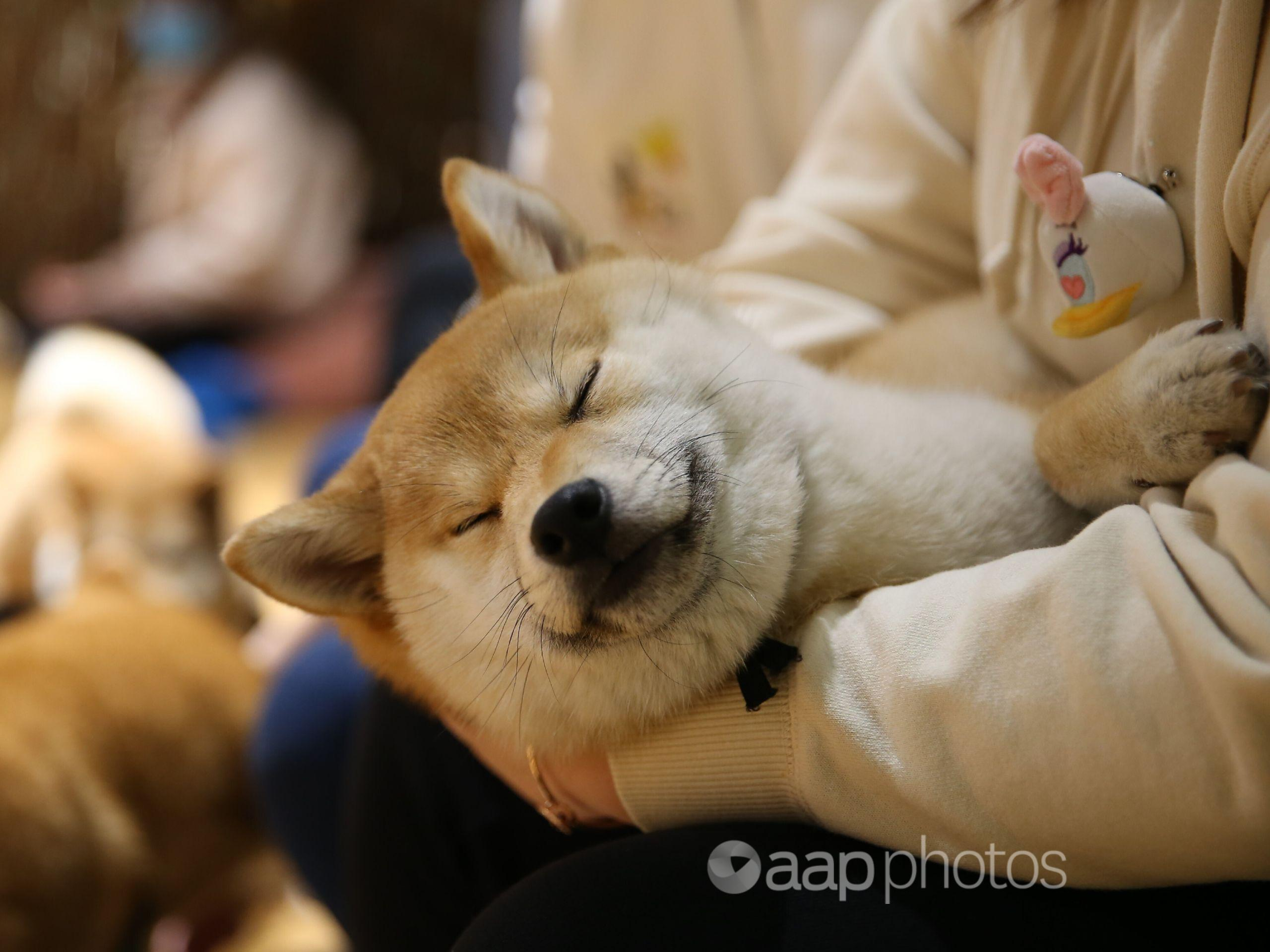 A dog rests on a person's lap