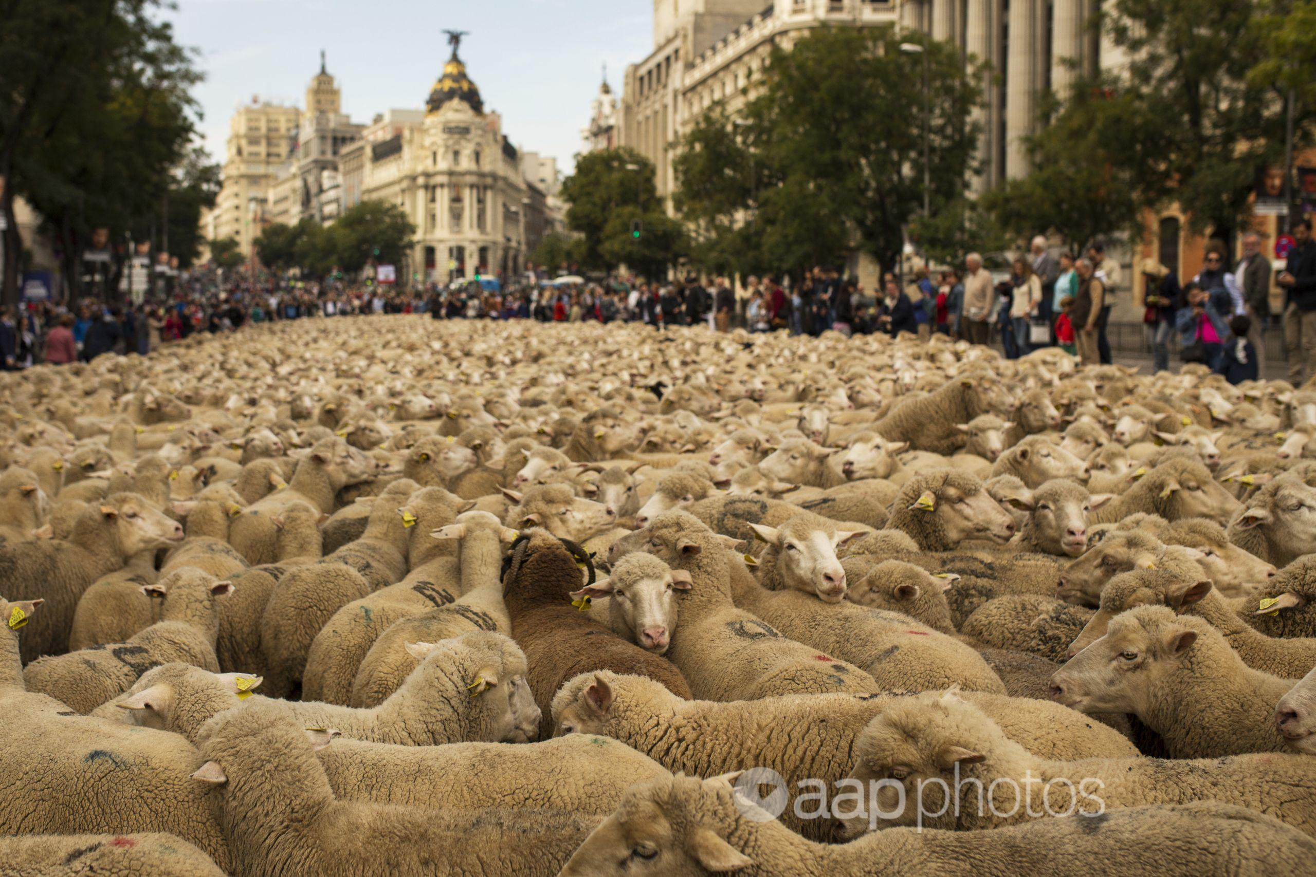 Shepherds lead their sheep through the centre of Madrid.