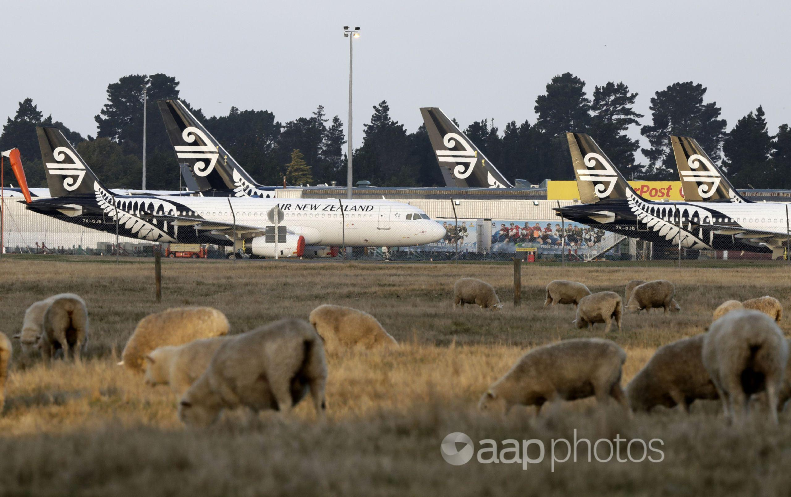 sheep in a paddock outside an airport full of parked Air NZ planes
