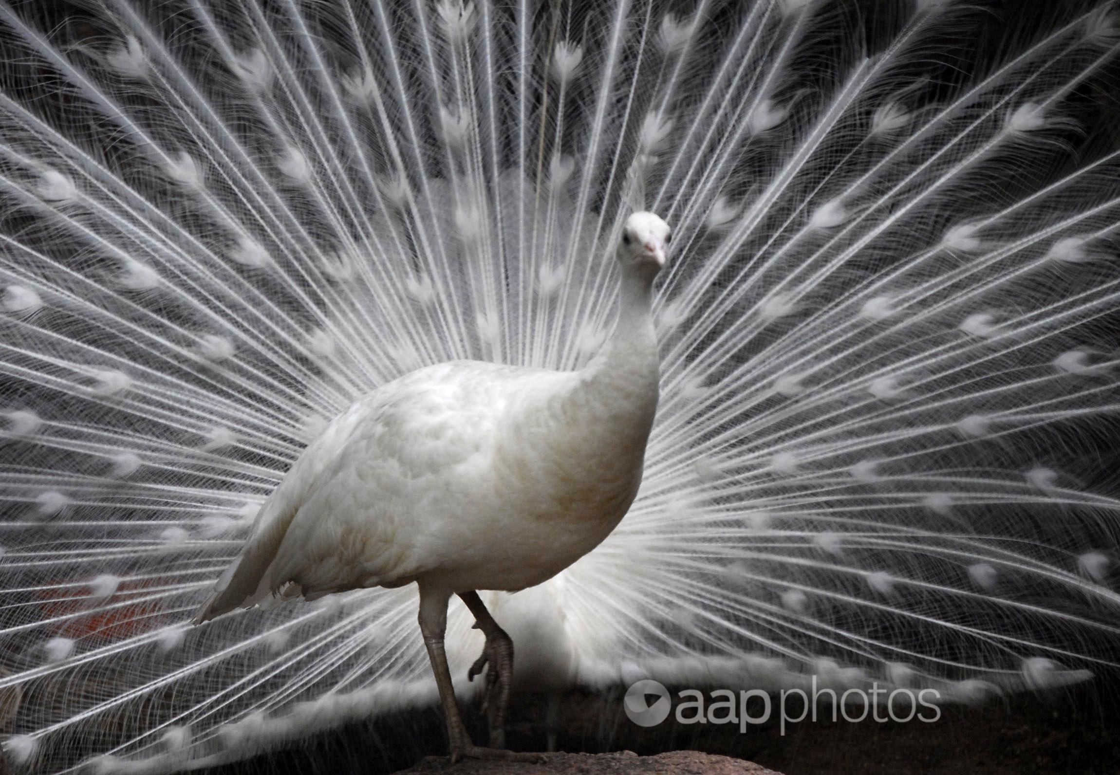 A white peacock displays its plumage.