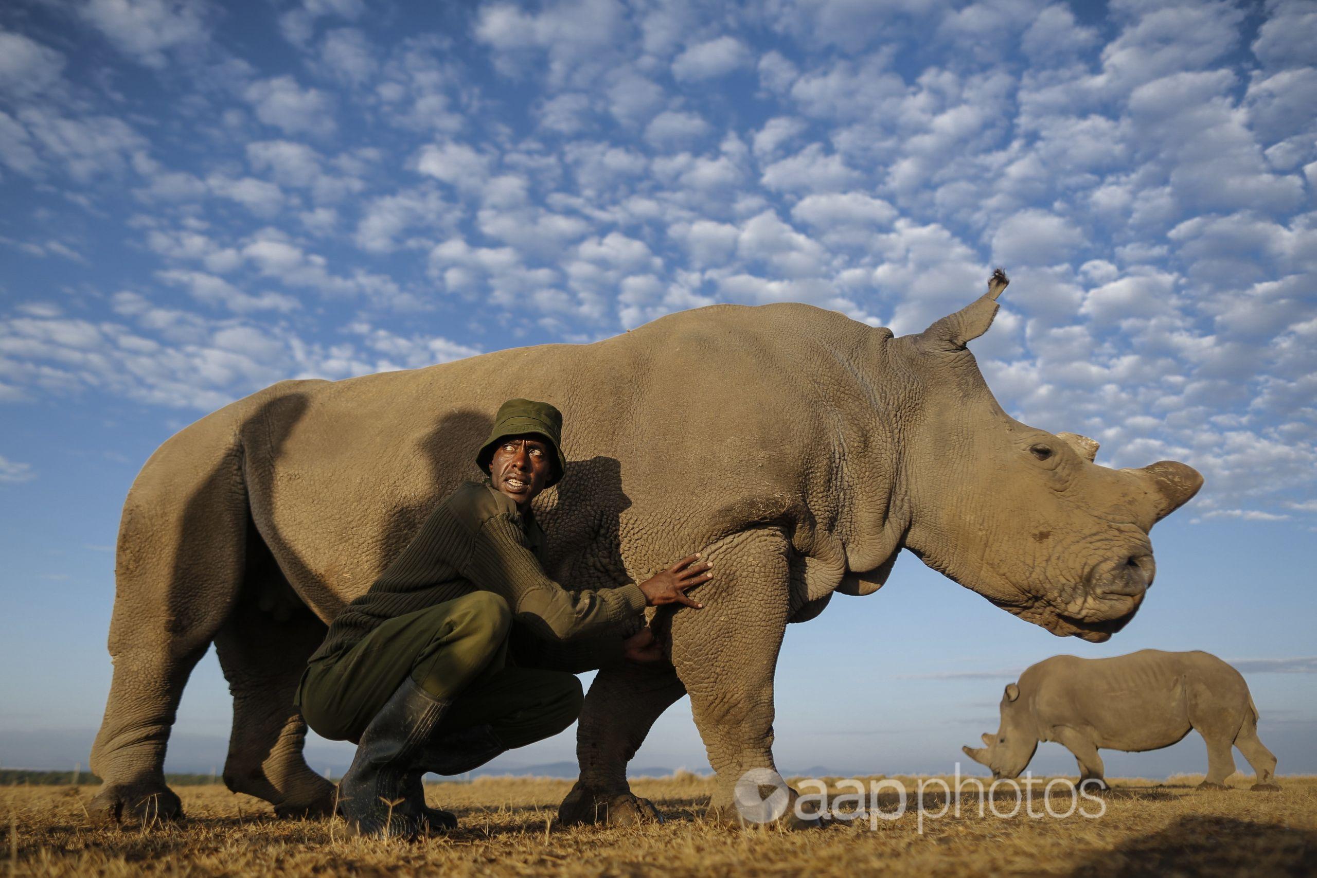 A female northern white rhino