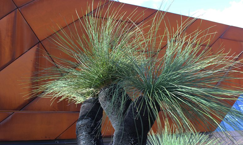 Balga tree in the Wildflower Garden at Yagan Square with the building facade in the background