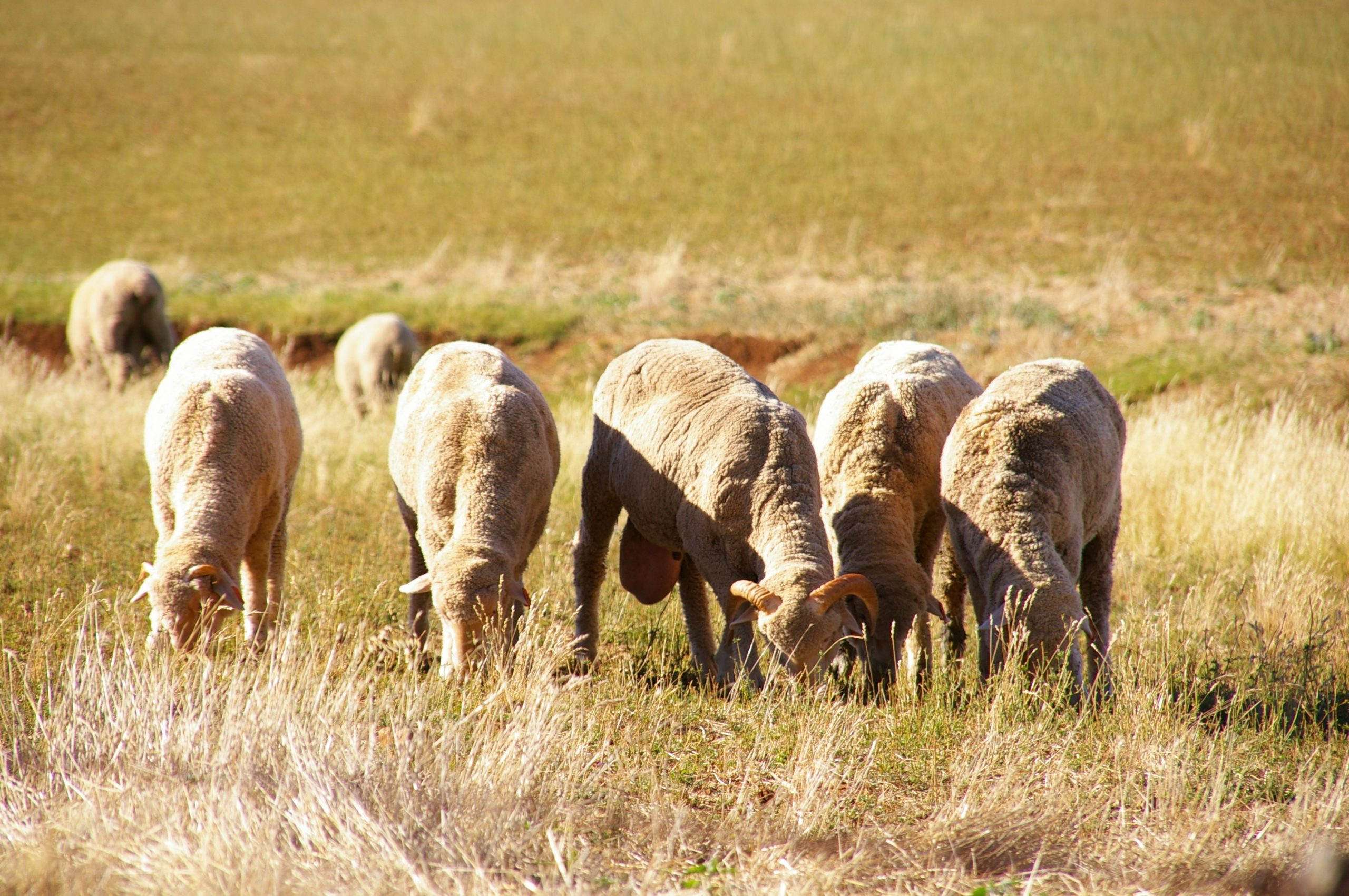 Sheep_grazing_compressed