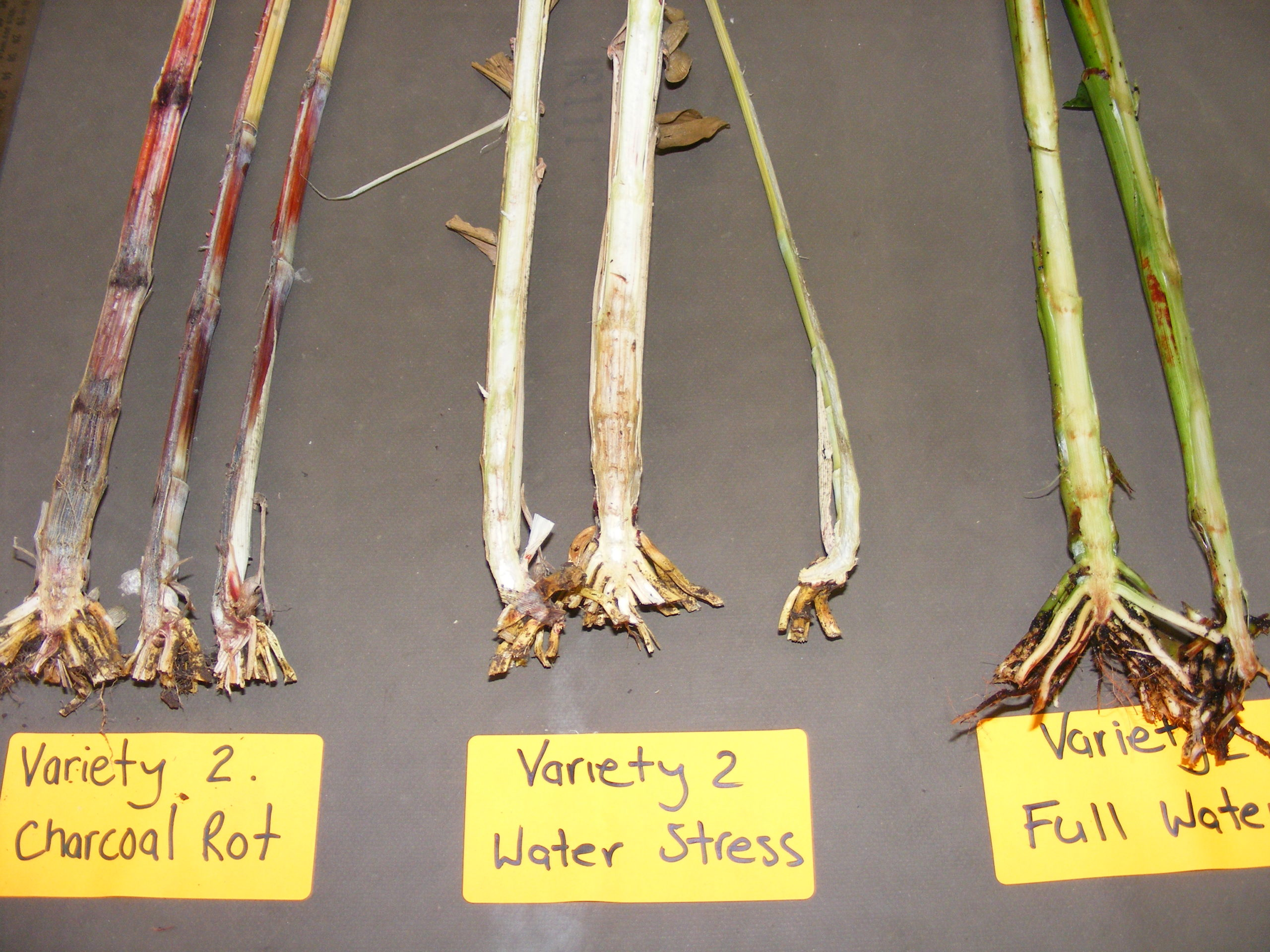 typical charcoal rot symptons (sorghum)