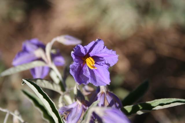 Silverleaf-flower-web