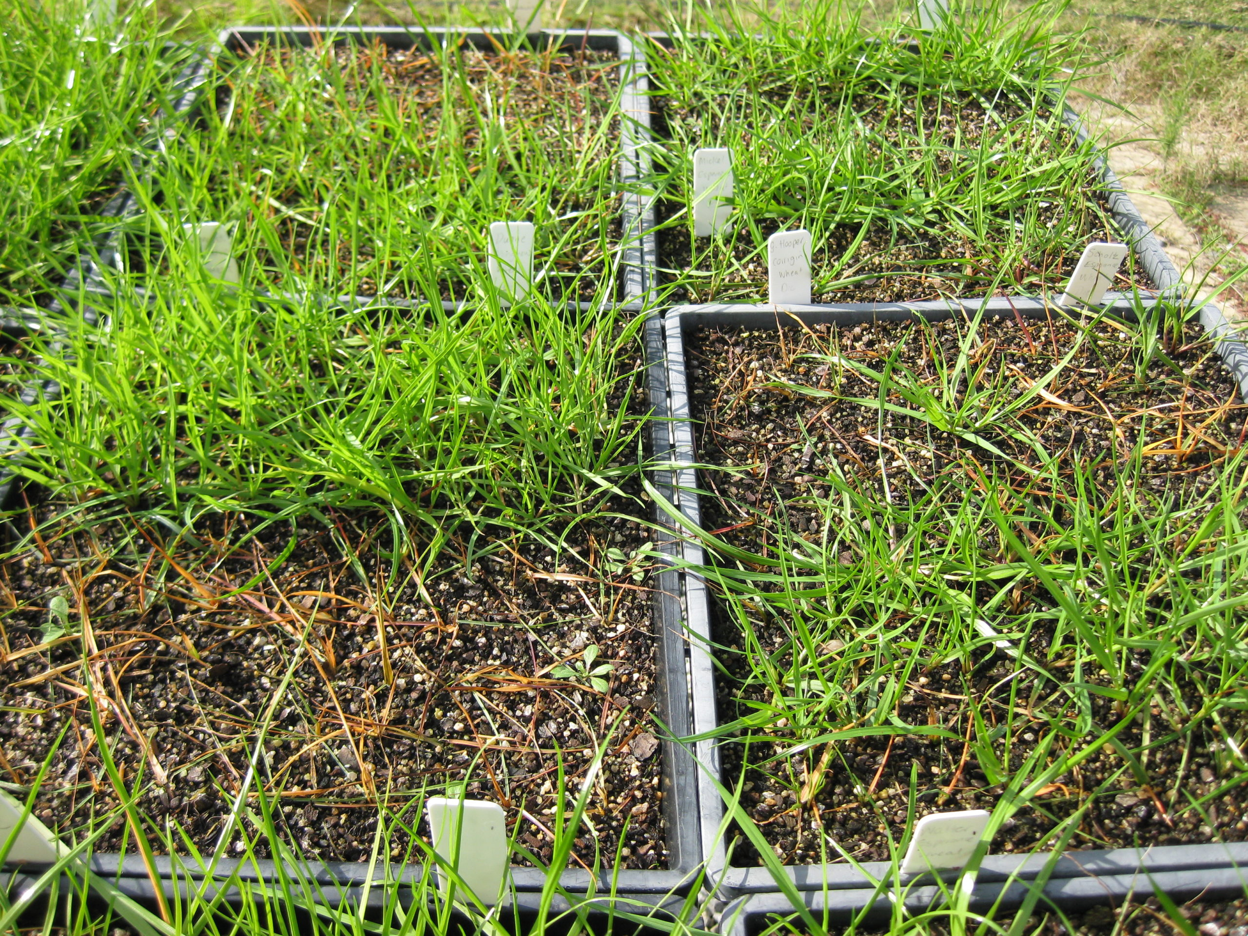 annual-ryegrass-tested-for-herbicide-resistance