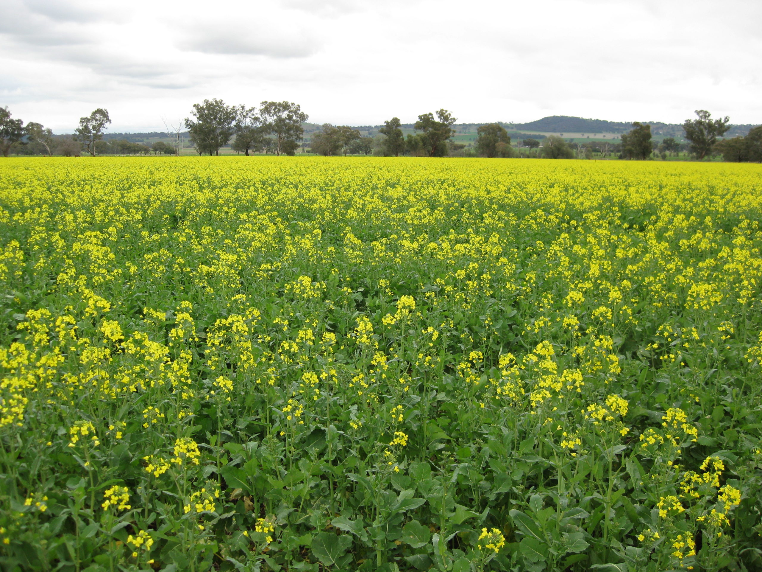 A strongly competitive canola crop can suppress weed biomass at flowering by a huge 50 per cent, significantly reducing the amount of weed seed added to the seed bank.