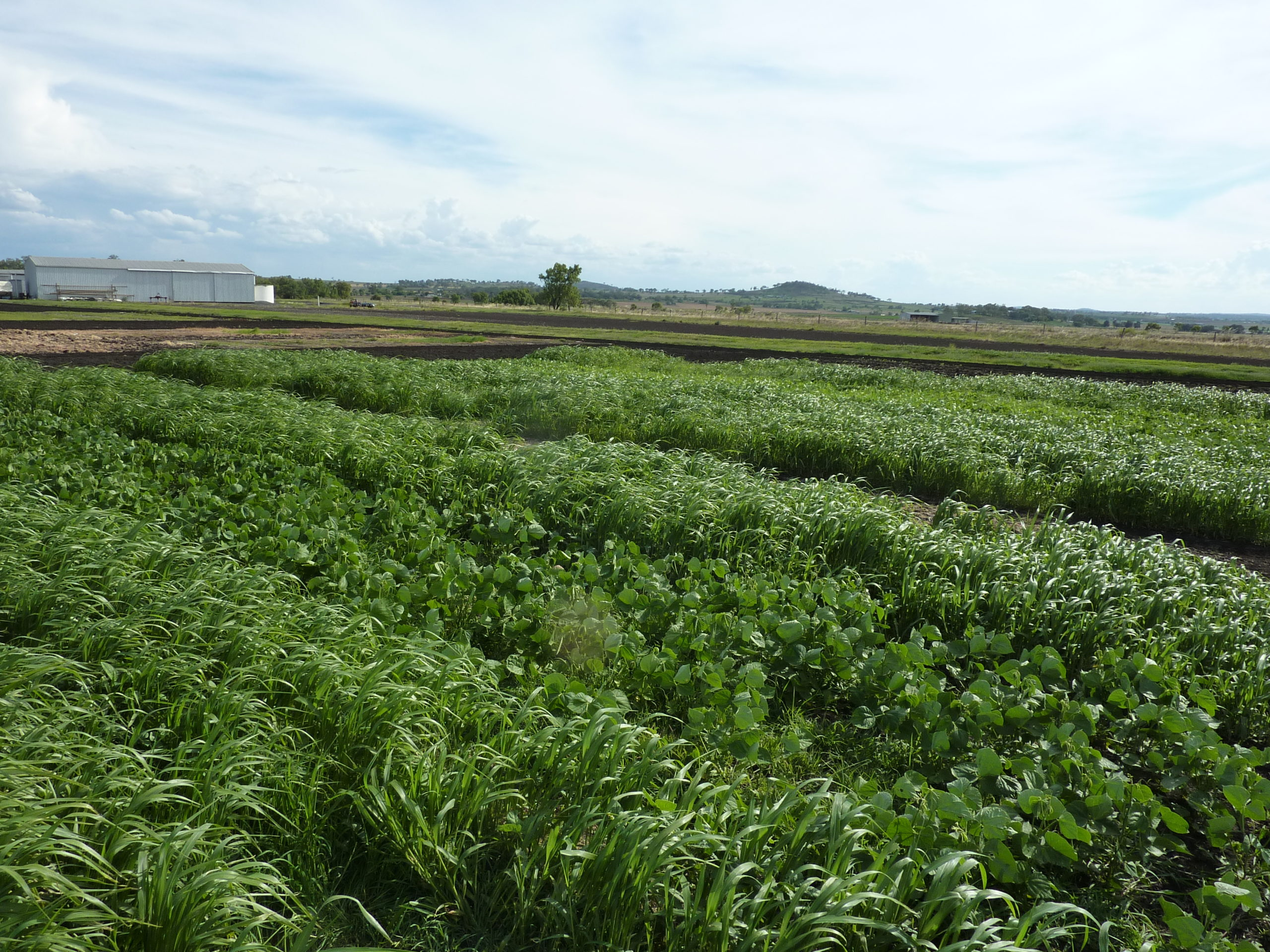 Cover crops may provide a useful, non-chemical alternative for weed management in northern region fallows.