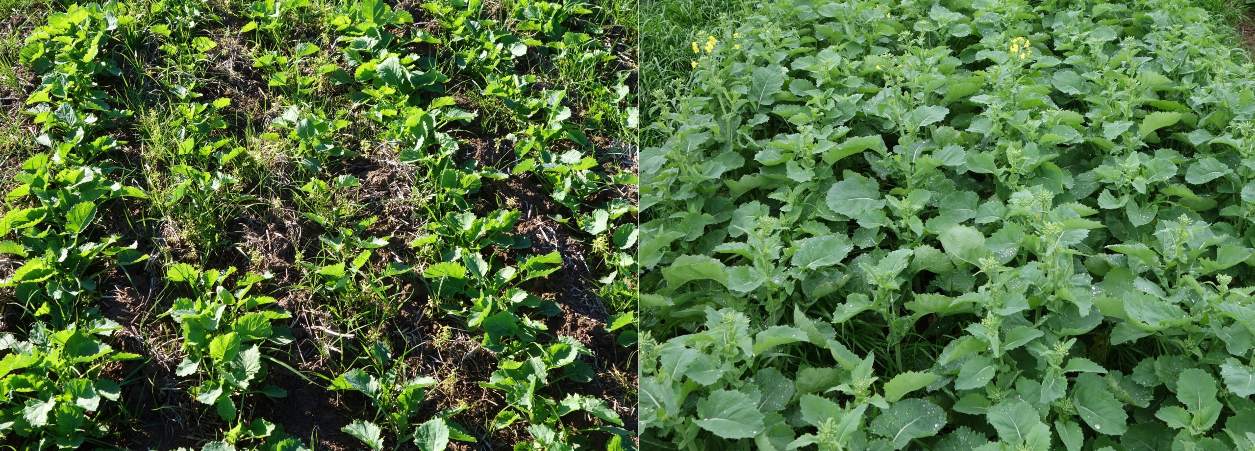 Competitive (right) v non-competitive canola — growers can take advantage of the canola varieties with greater competitive ability.