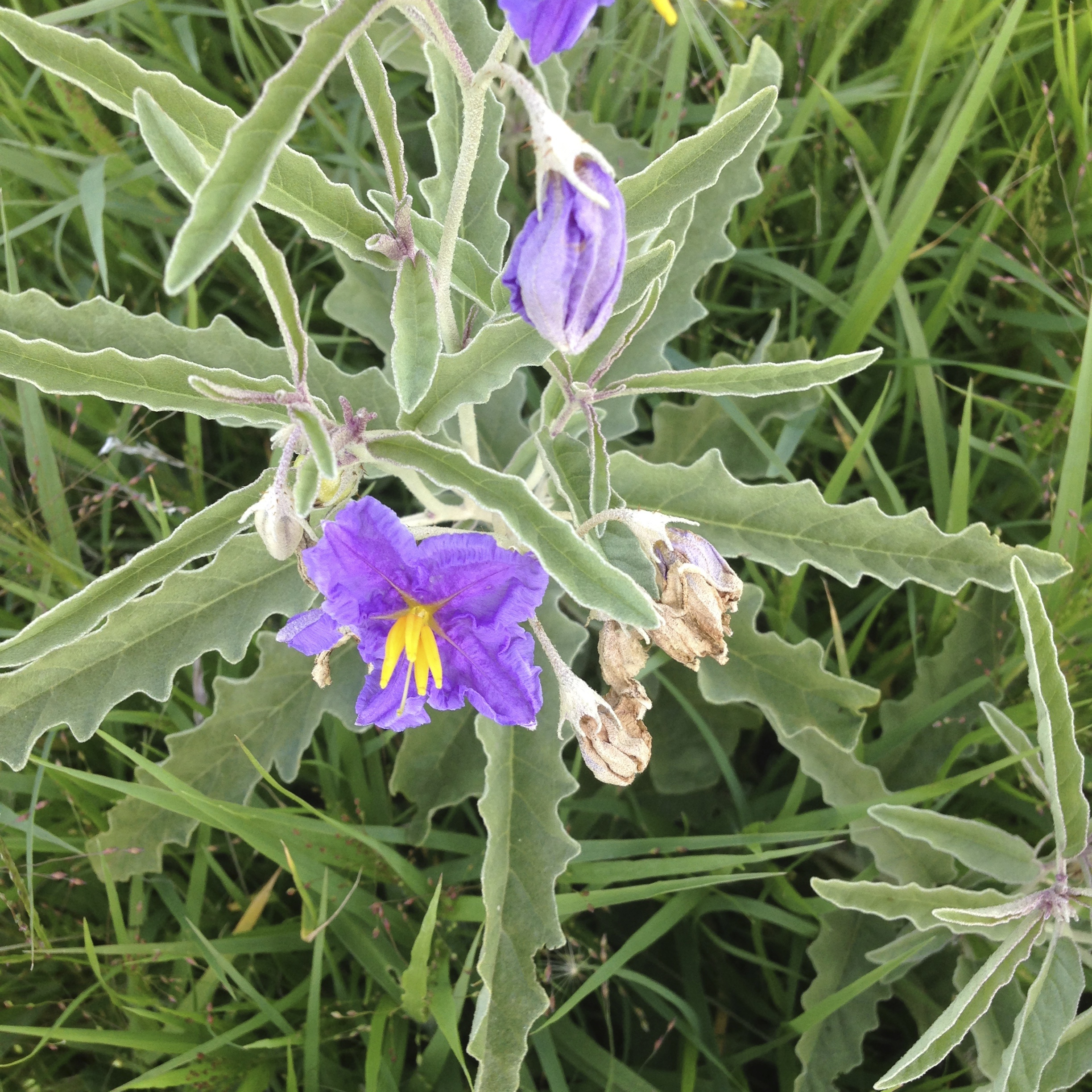 Treating silverleaf nightshade before it flowers and again when it reshoots has proven to be an effective strategy to control this difficult crop and pasture weed. Photo: Rex Stanton