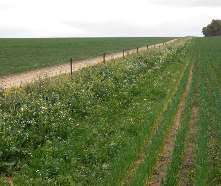 Sustainable glyphosate use in winter grain cropping systems in southern Australia