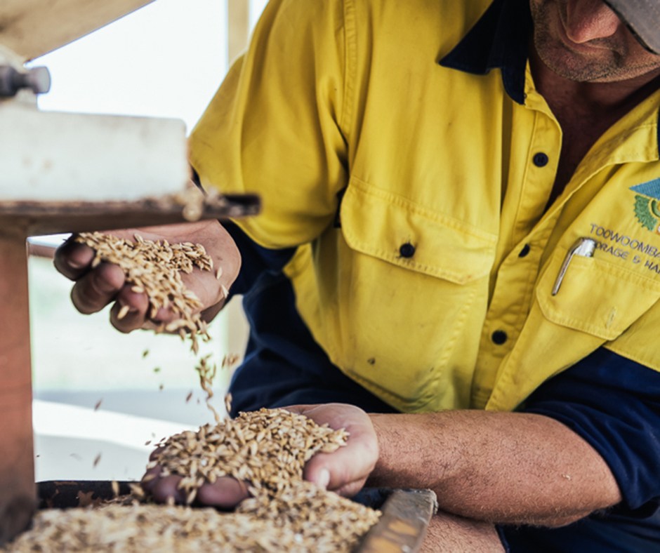 David Bach from Toowoomba Grain and Storage suggests David suggests harvesting much more grain than you need for seed, getting it cleaned and keeping the largest grain aside for seed.