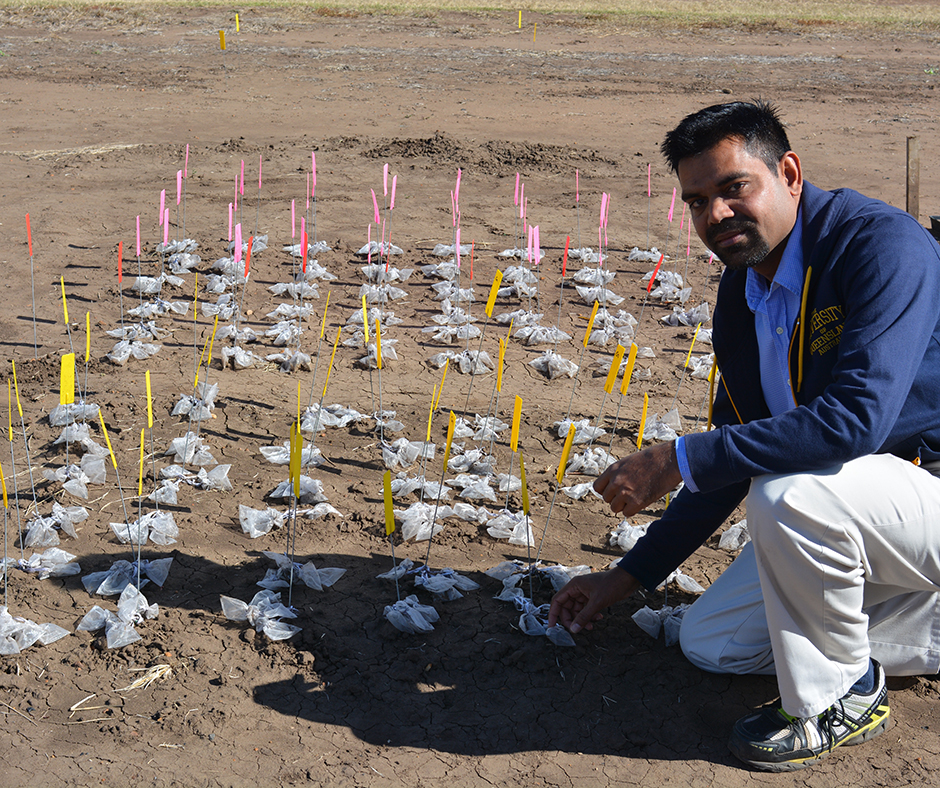 Dr Bhagirath Chauhan, Principal Research Fellow with the Queensland Alliance for Agriculture and Food Innovation is studying the ecology of ten emerging weeds in the northern grains region to help identify the most effective control tactics.