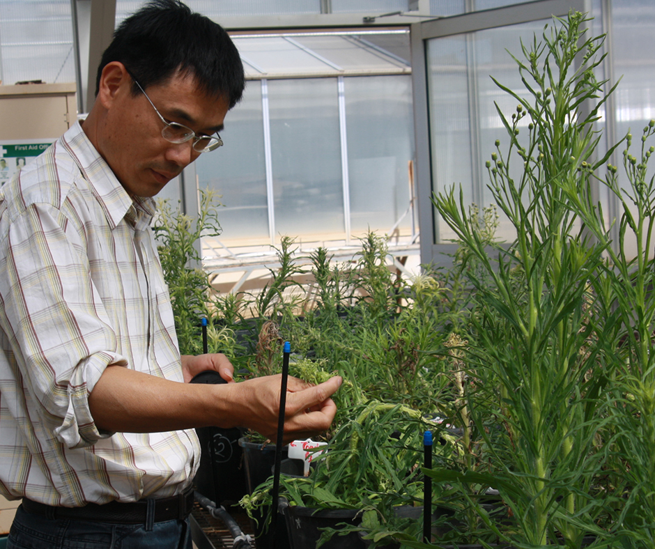 Dr Hanwen Wu has demonstrated that herbicide applications can induce dormancy in fleabane seeds, enabling seeds to evade pre-emergent herbicides and establish later in-crop when control options are minimal.