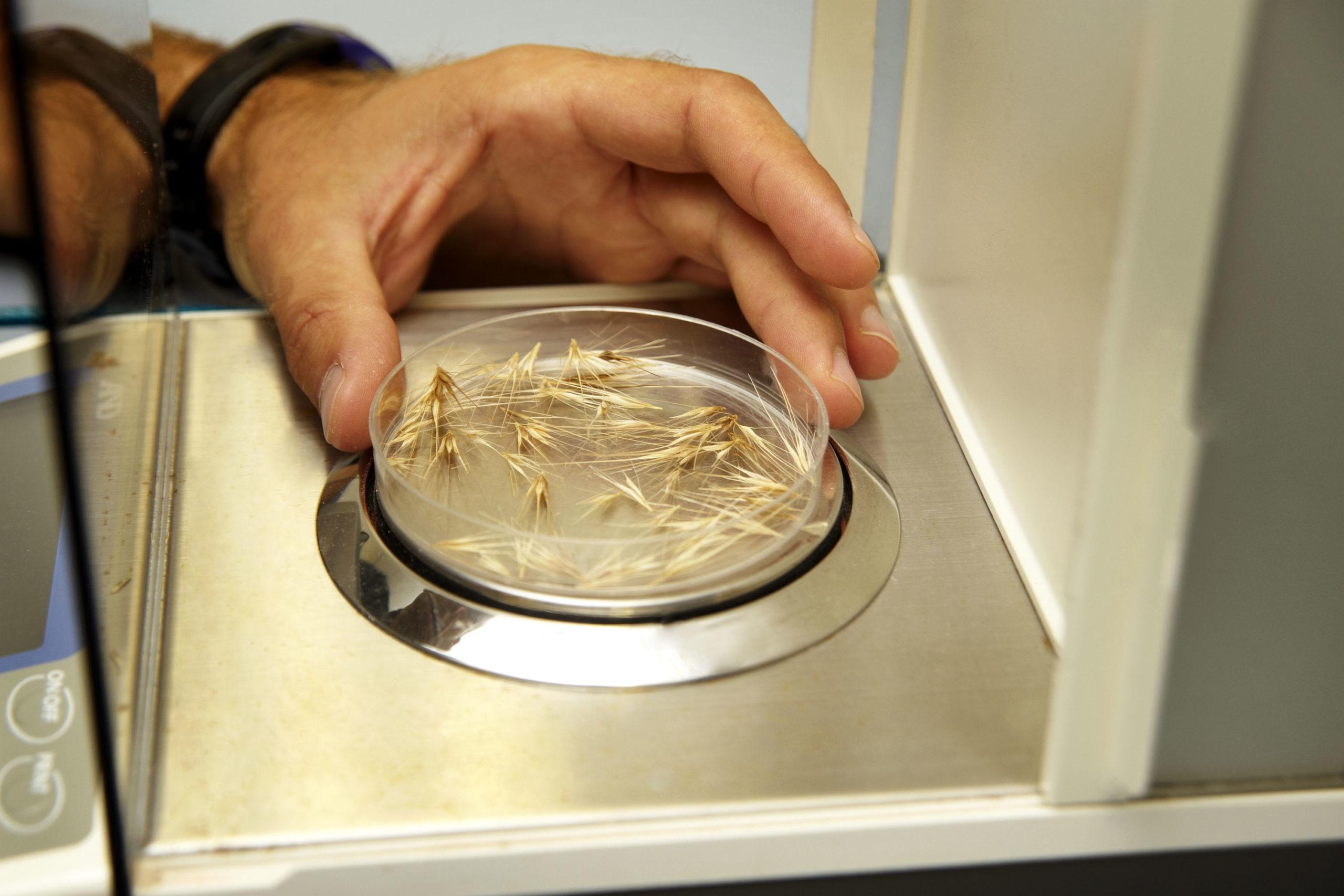 Sleepy seeds (aka seed dormancy) & herbicide application