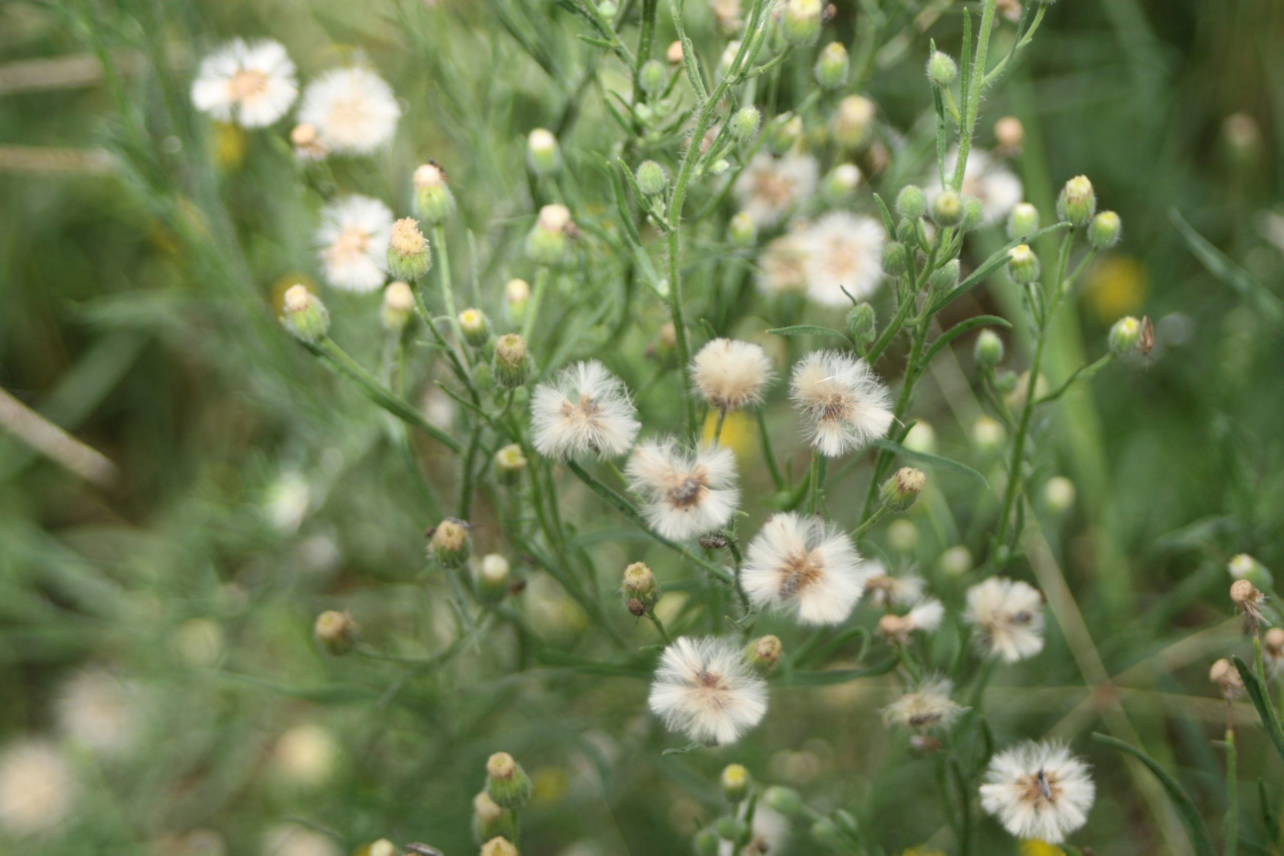 Alternative second knock herbicides for broadleaf weeds in fallow – are there other options?