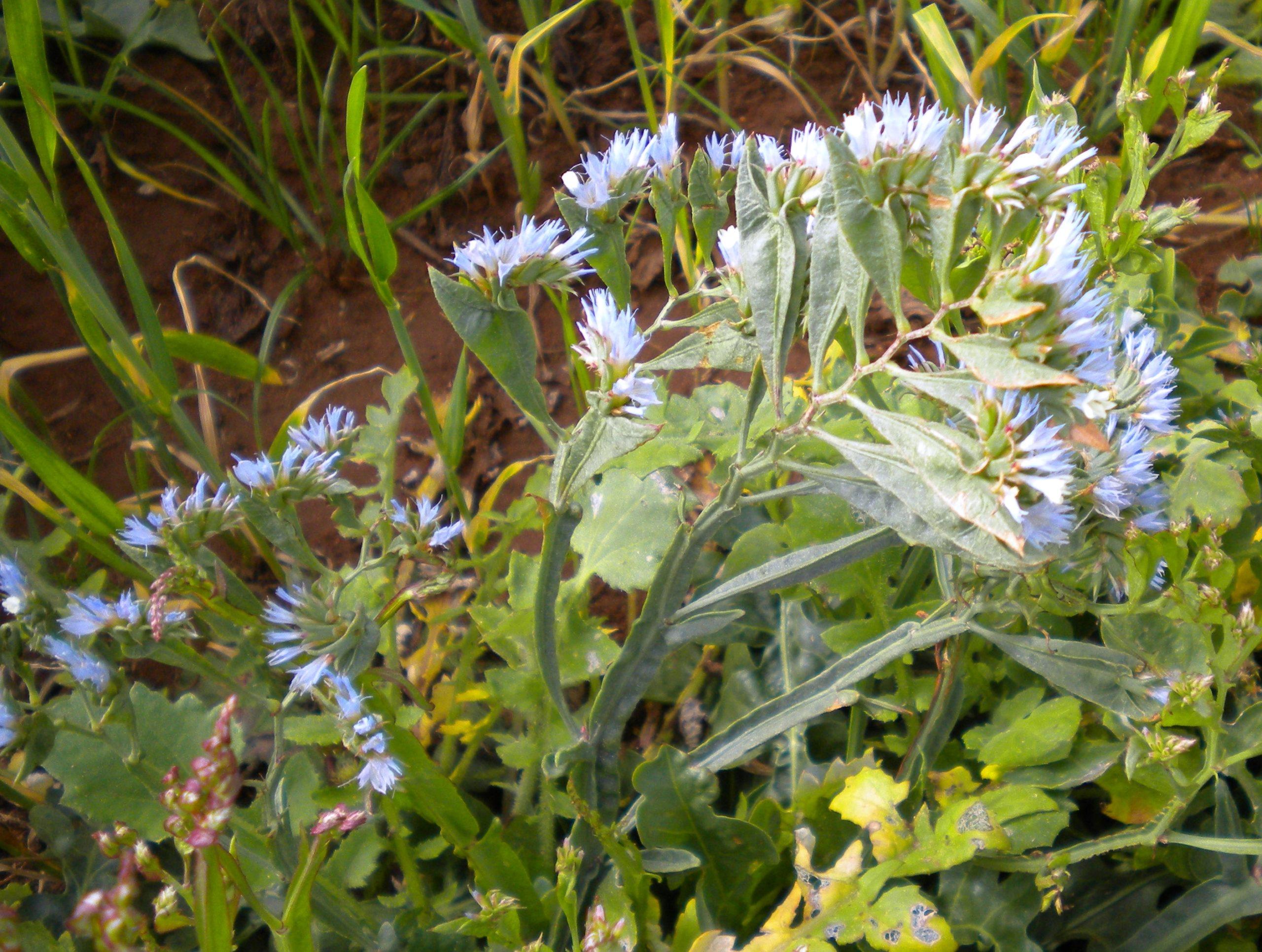 Statice: Biology, Ecology and IWM Tactics