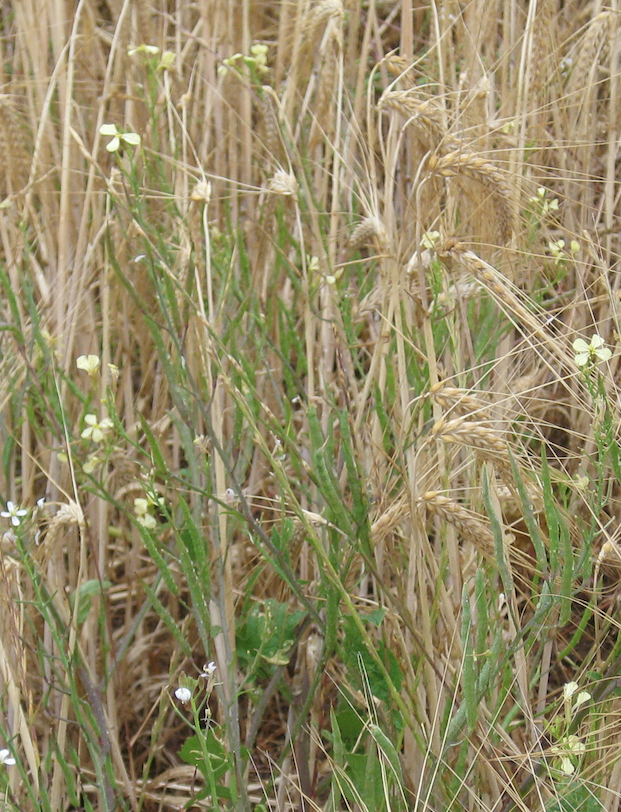 Herbicide resistant wild radish: take back control