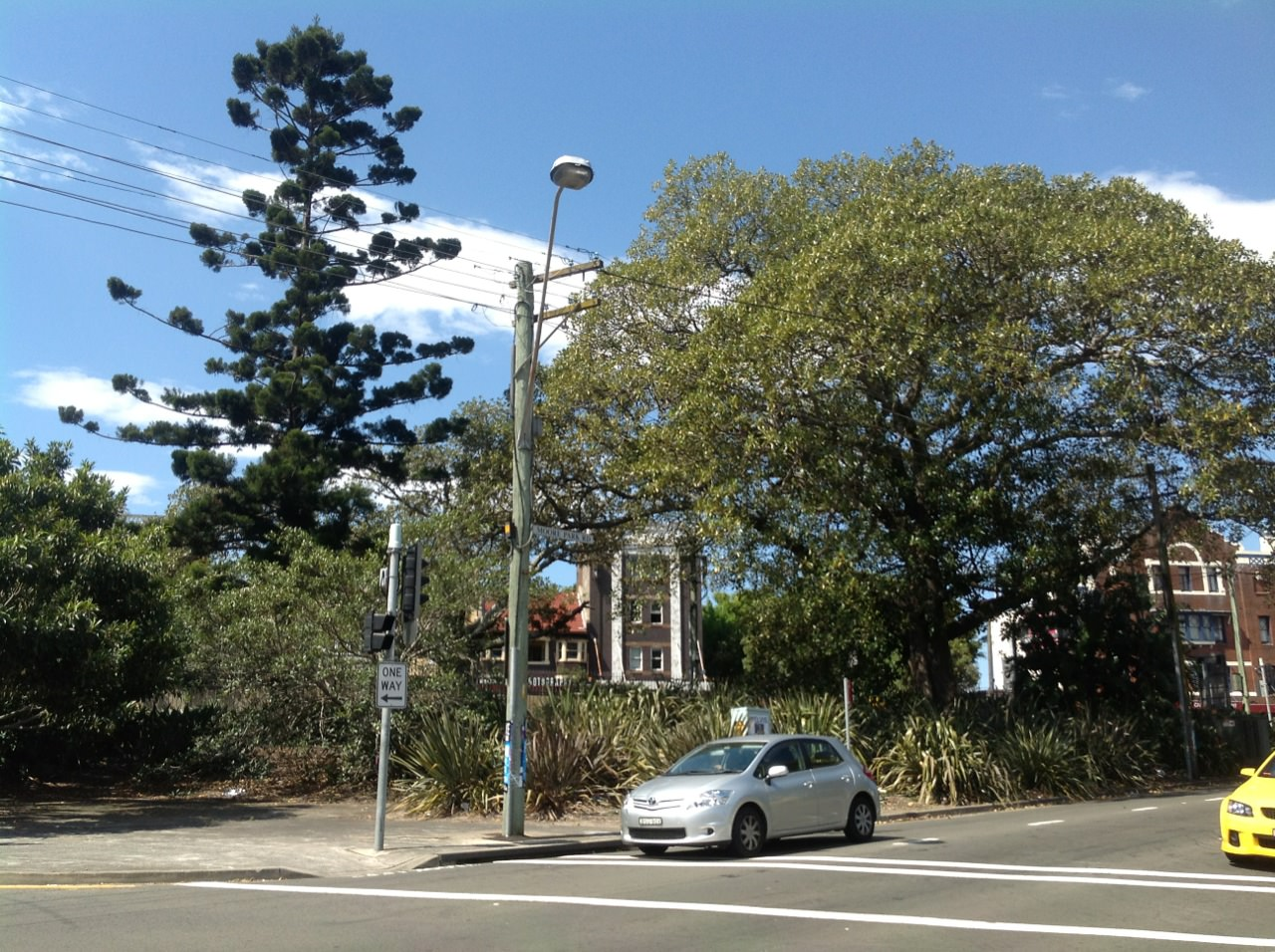 Moreton Bay Figs and Hoop Pine