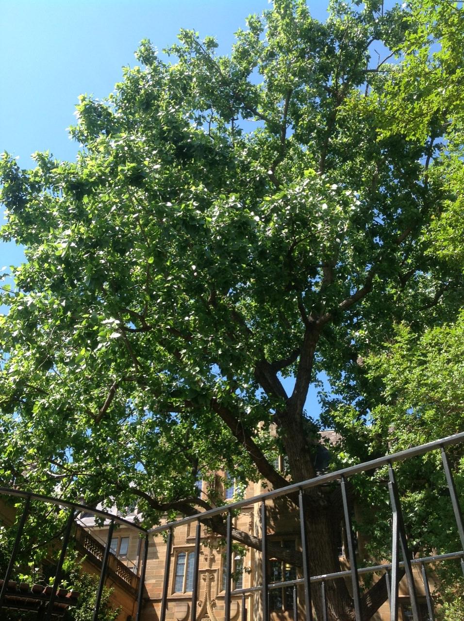 Cottonwood Poplar