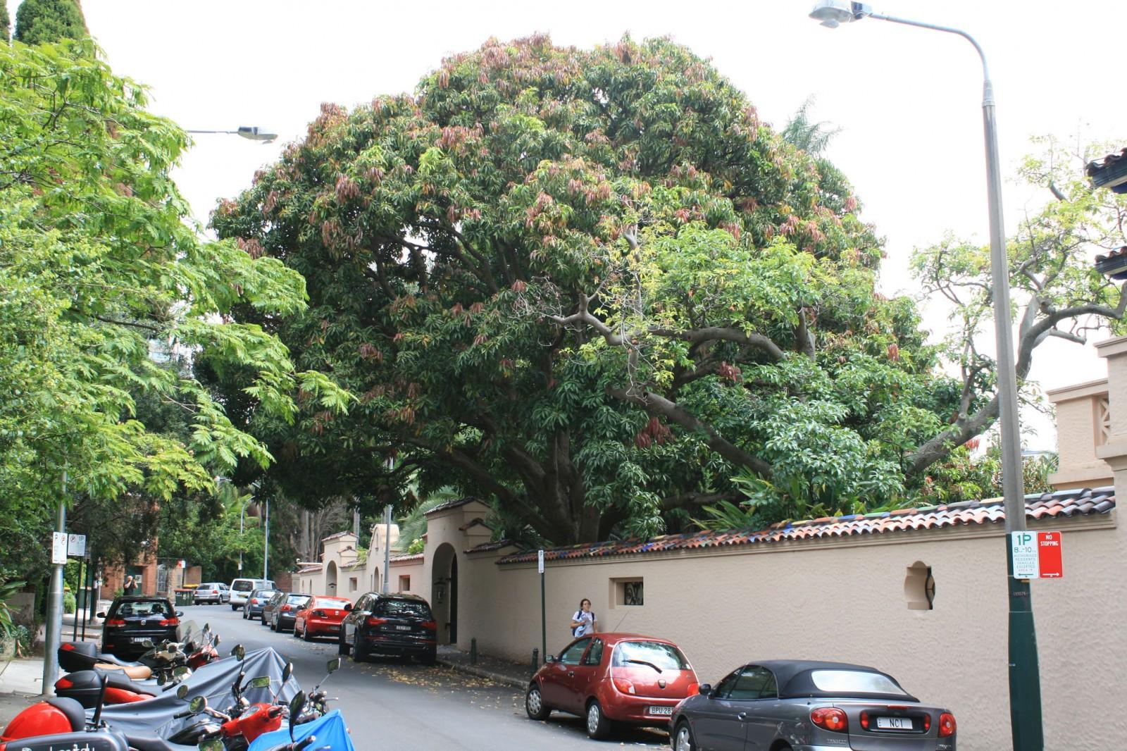 A large Mango Tree (Mangifera indica) located adjacent to