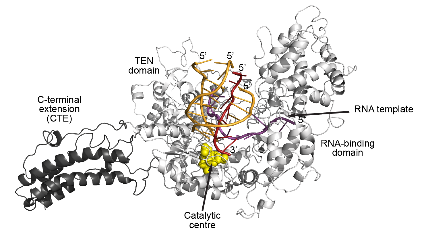Telomerase Binding to G4