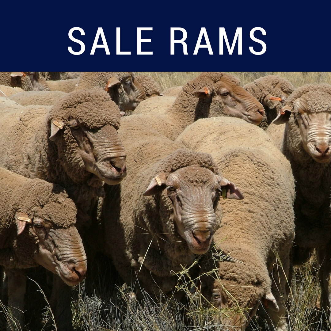 Centre Plus Sale Rams