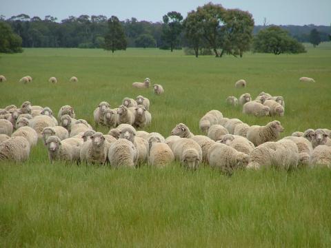 breeding ewes