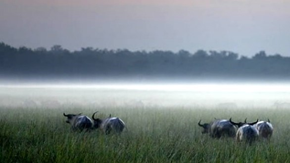 Water Buffalo at Bamurru Plains