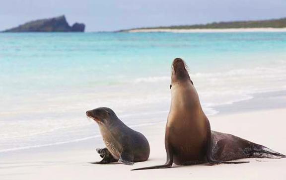 galapagos-sea-lions-silver-galapagos