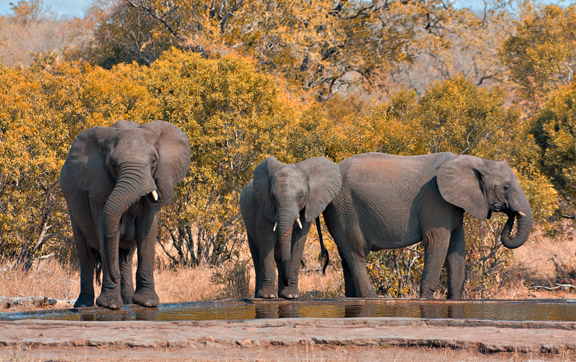 Singita Boulder Lodge, Kruger National Park, South Africa, Elephants, safari