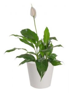 SLB Peace Lily in Ceramic Pot