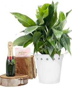 Peace Lily Moet Piccolo Dreams Gift