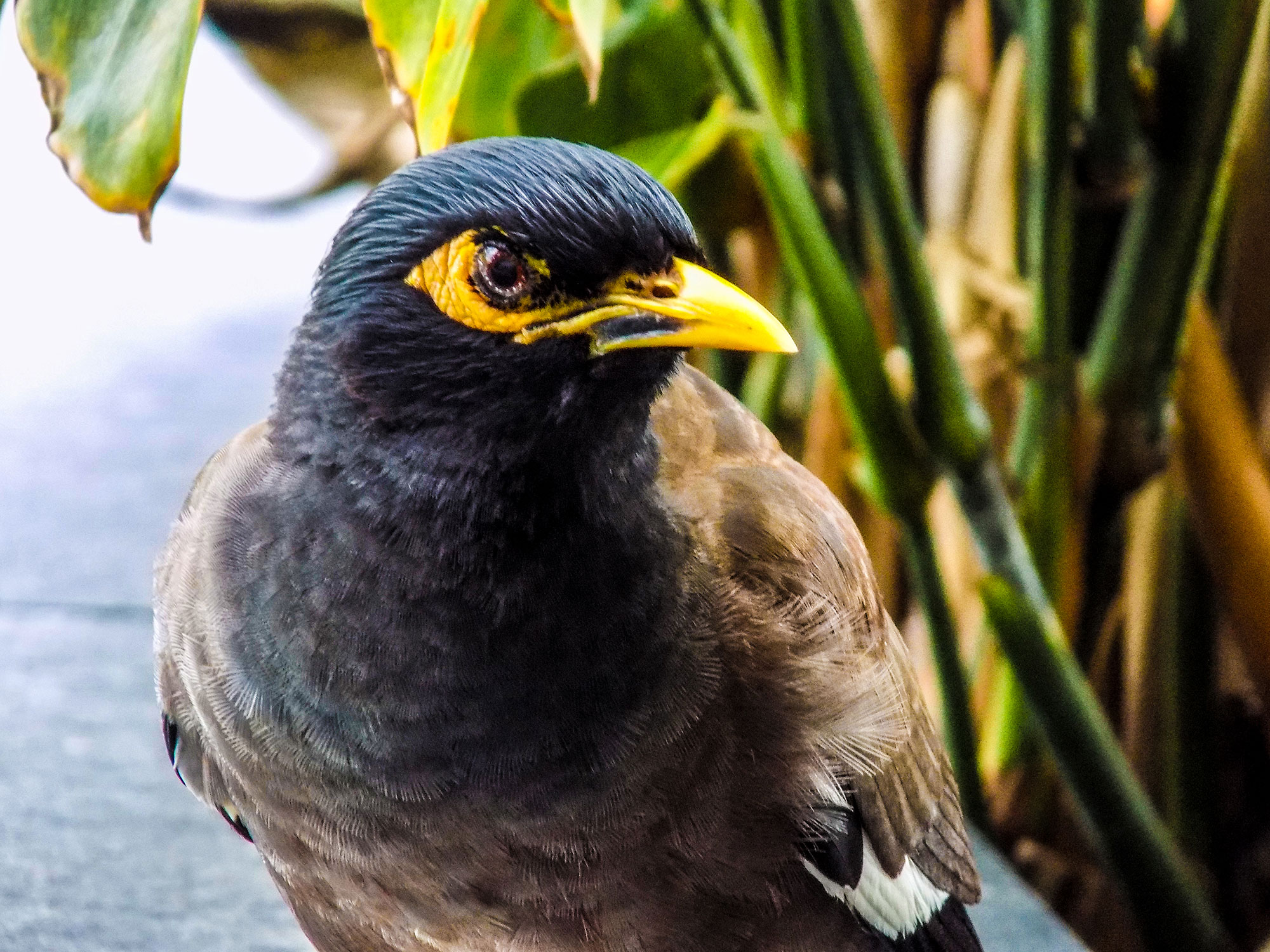 Picture of Indian Myna bird