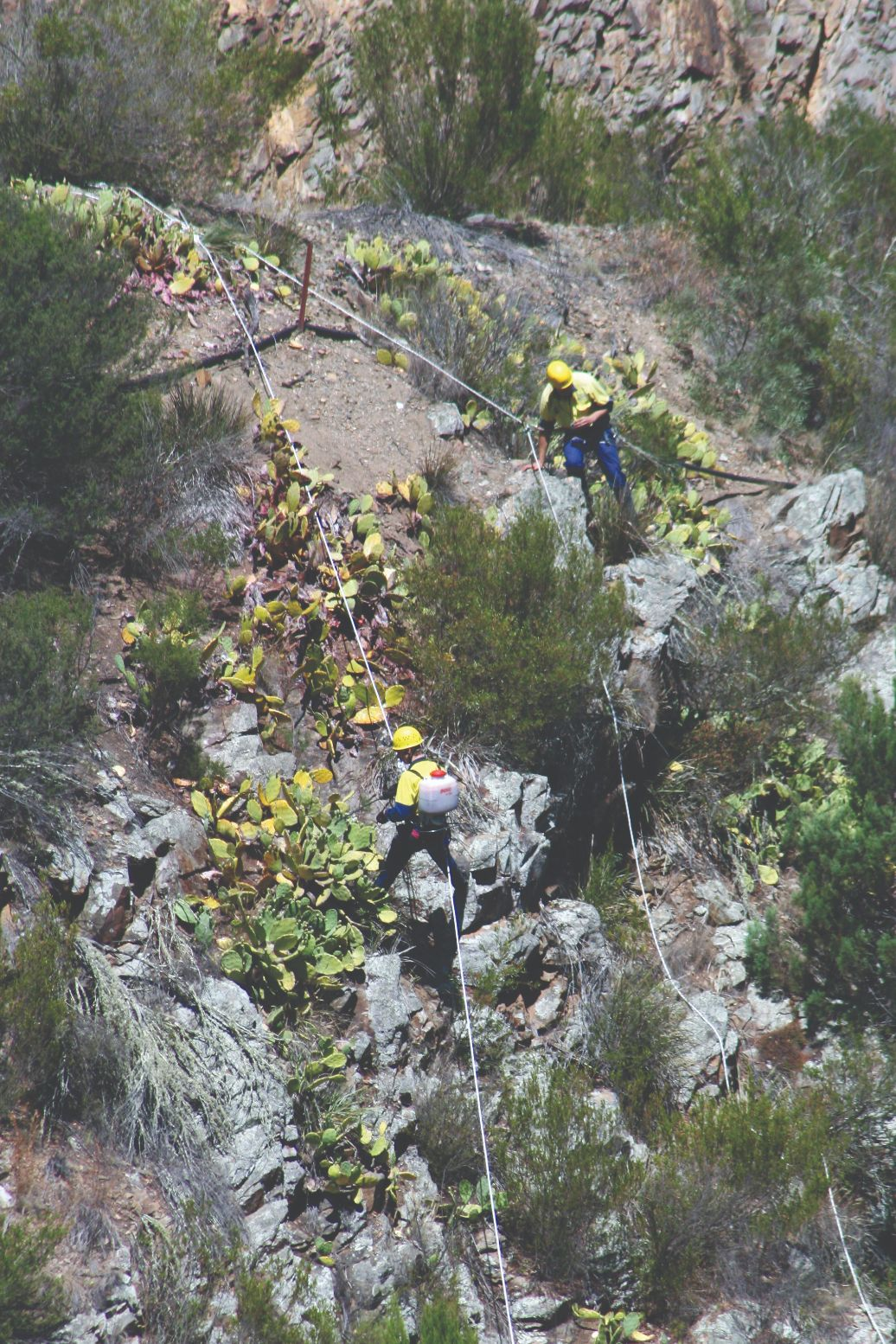 Two men abseiling down a cliff covered in Prickly Pear