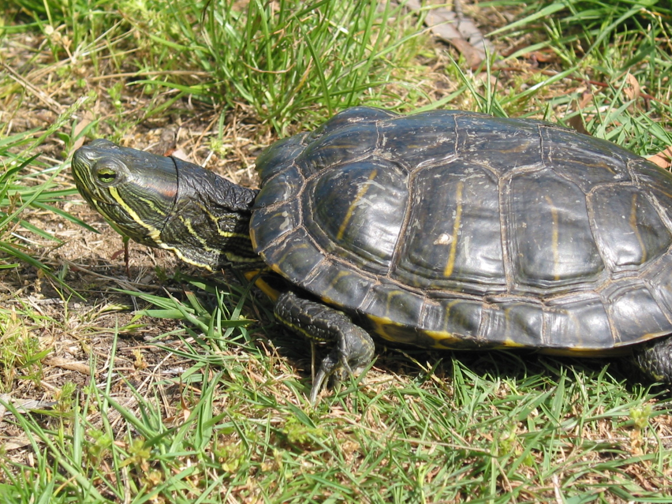 A Red Eared Slider Turtle