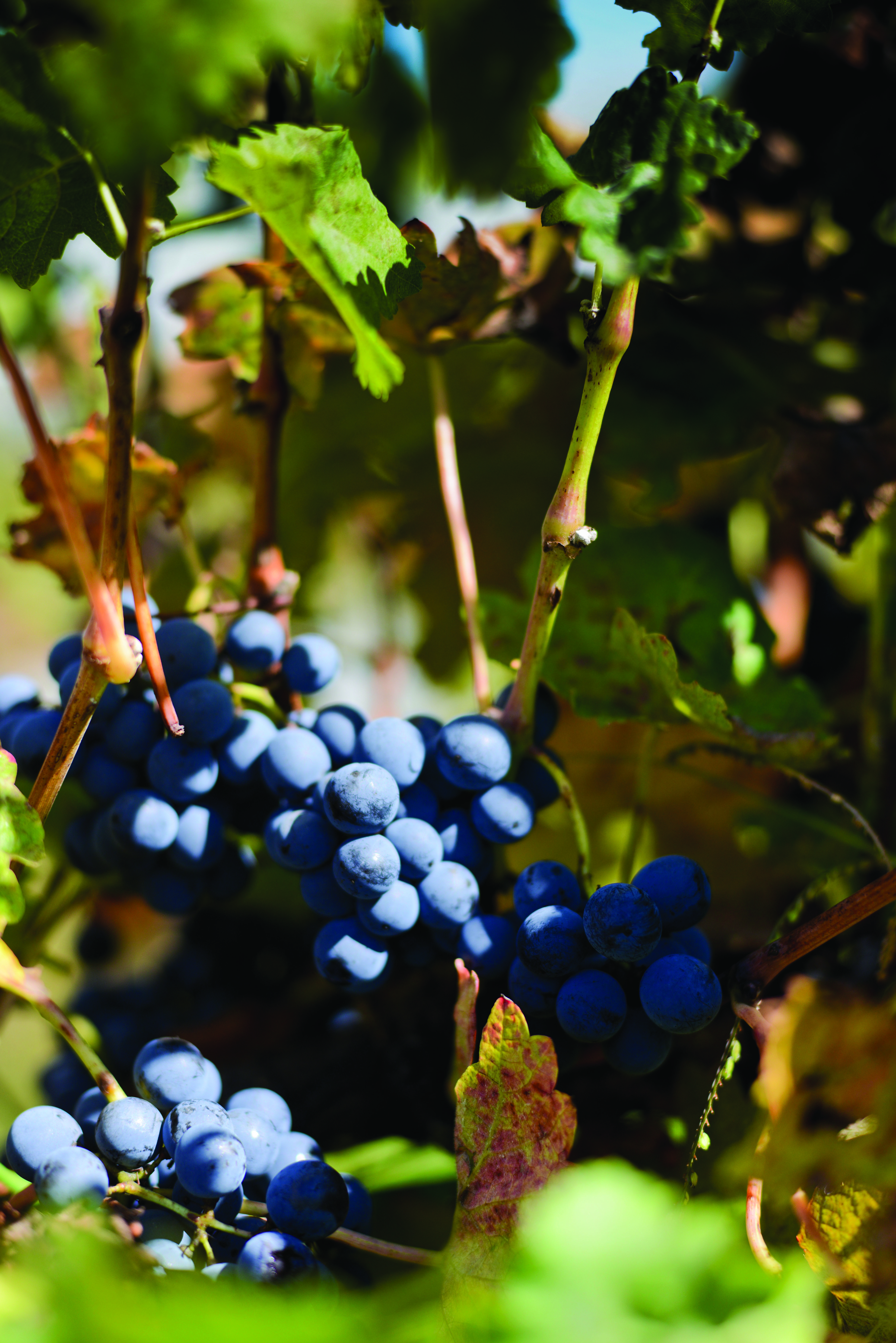 Picture of wine grapes