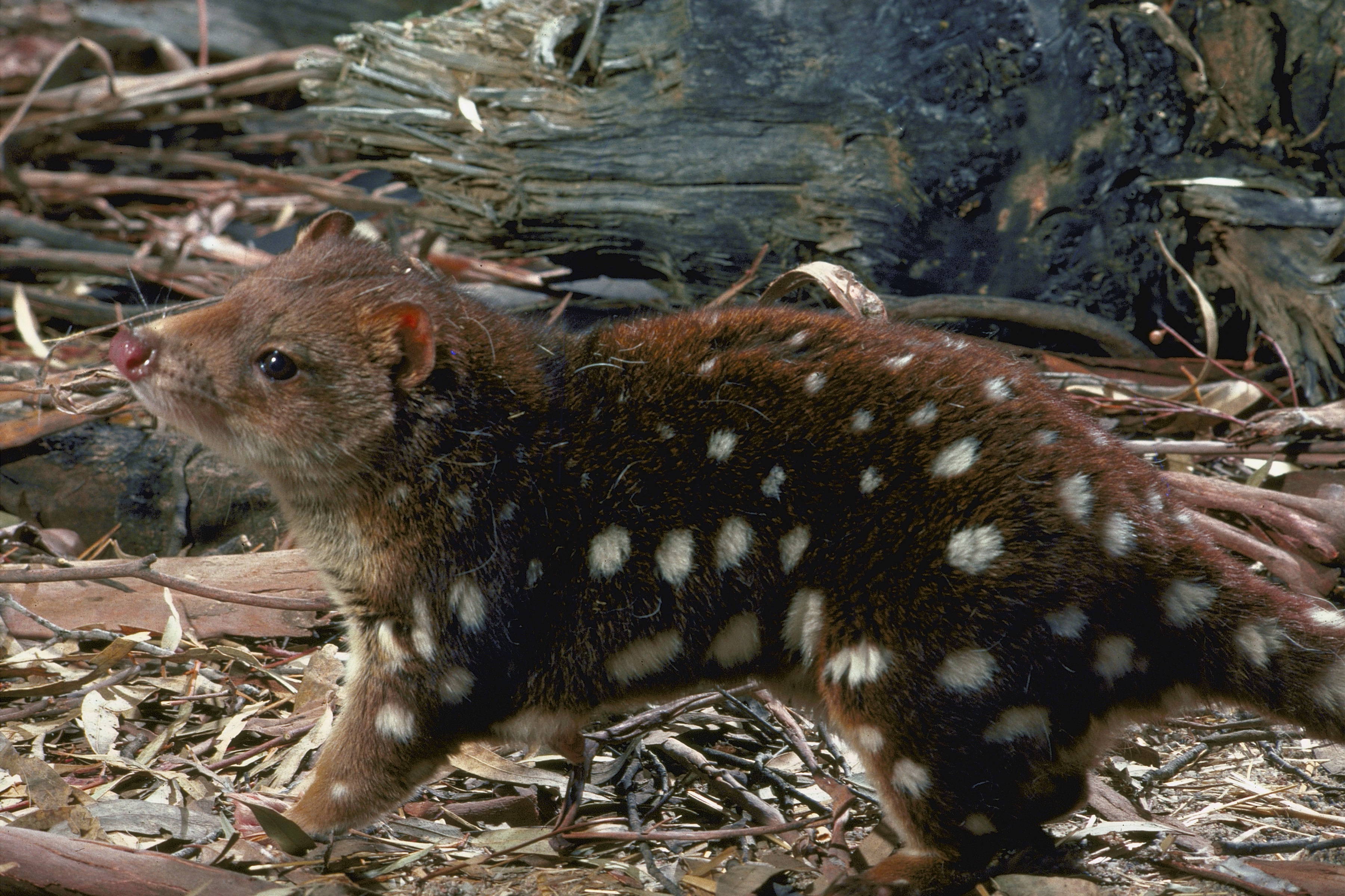 A side view of a quoll