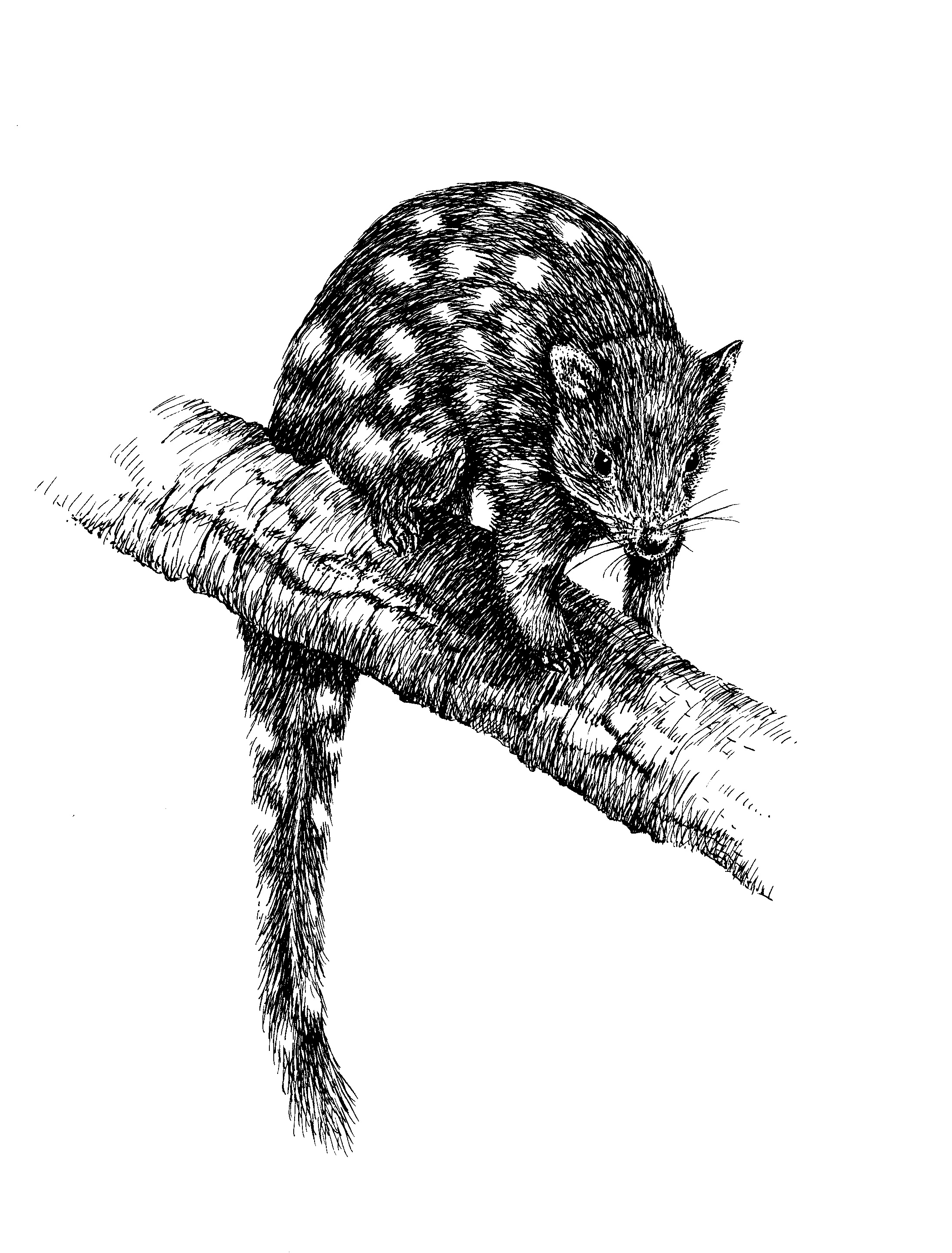 ​Black and white sketch of a quoll sitting on a branch​