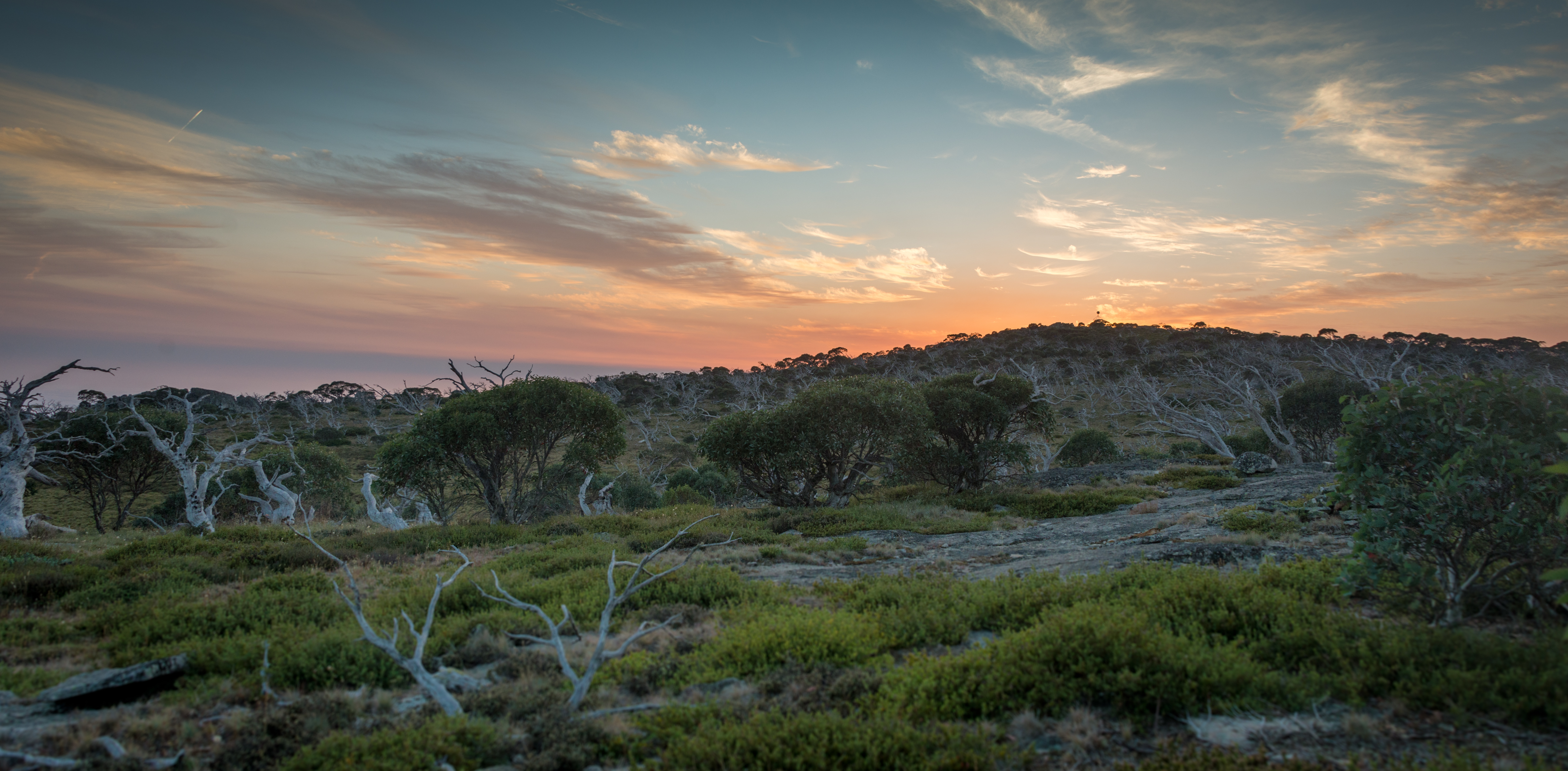 Snow gum woodland at sunset