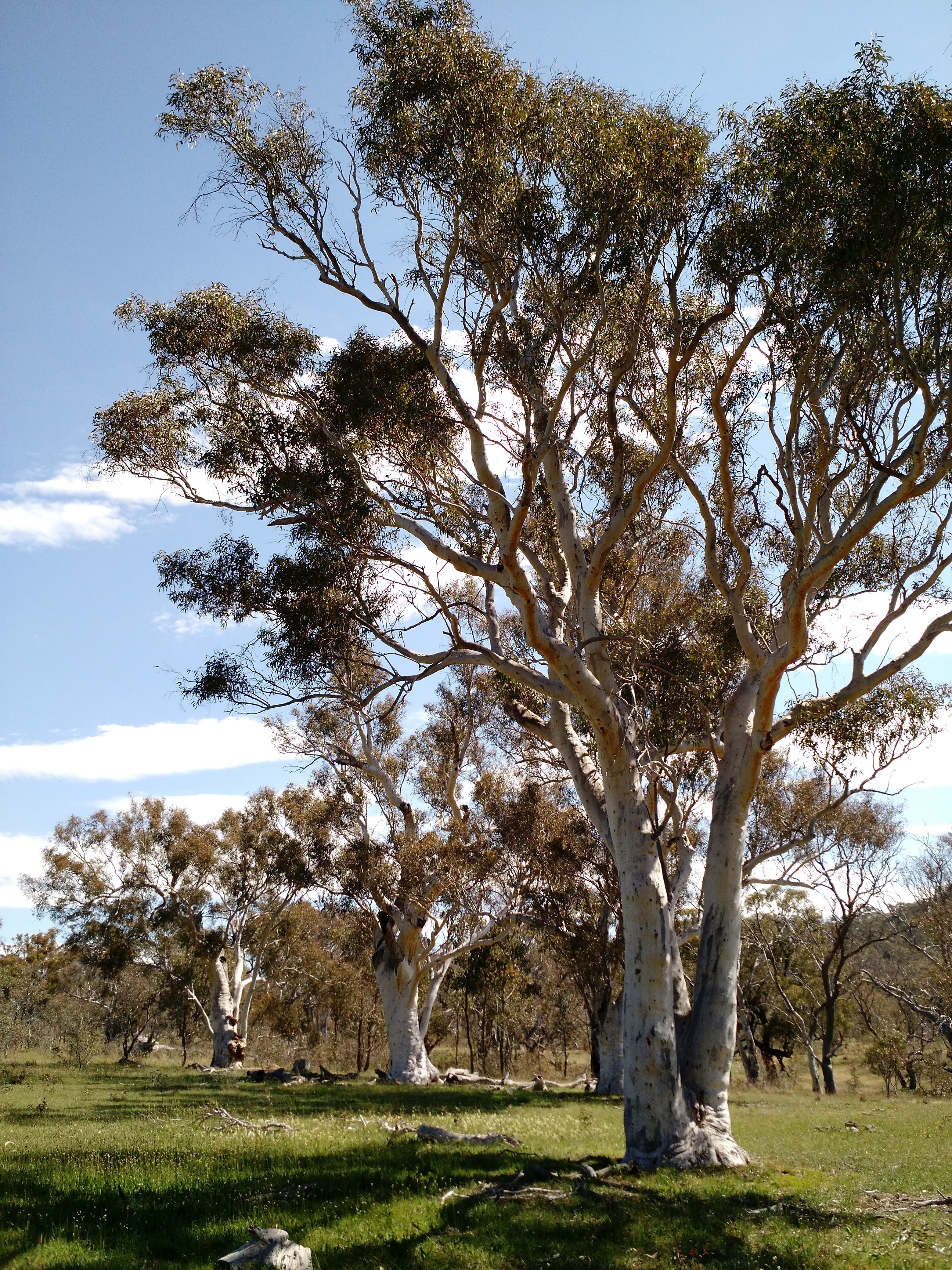 A scribbly gum tree in woodland