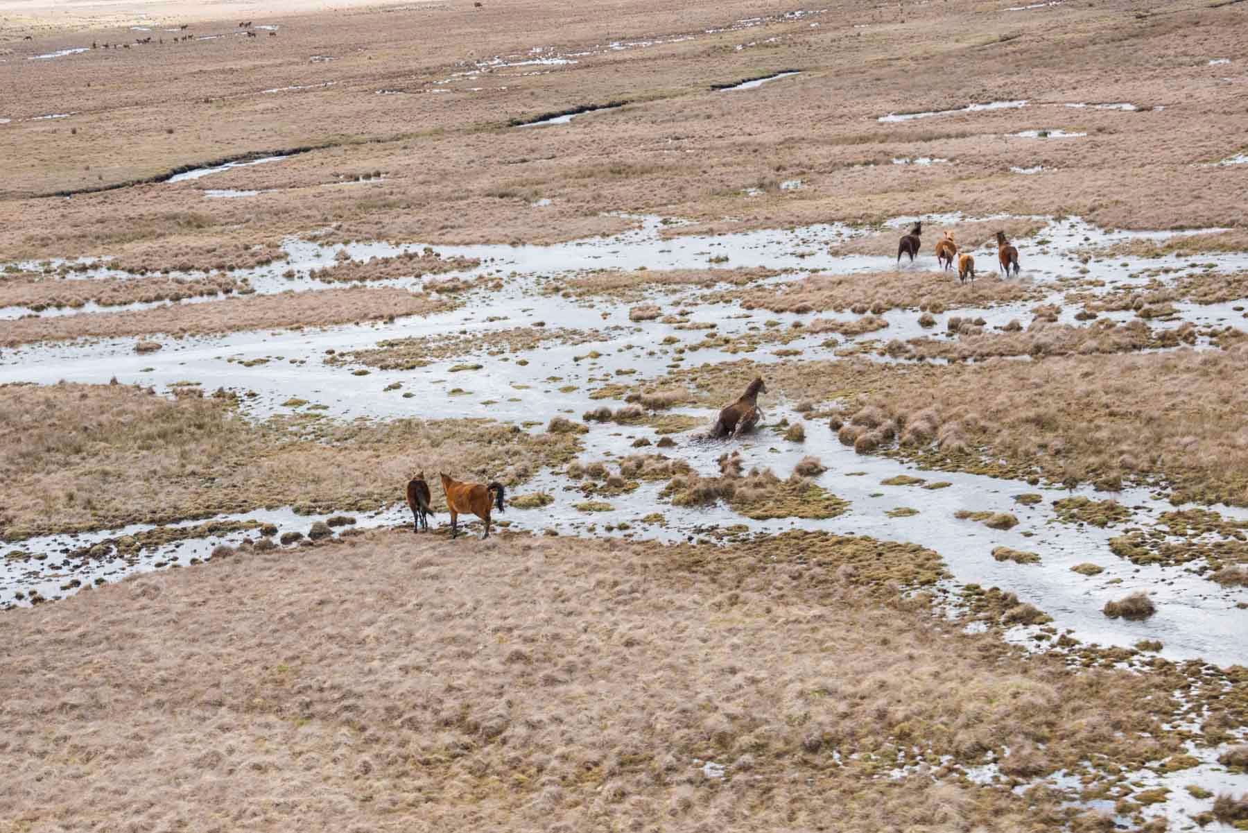 Feral horses crossing a stream