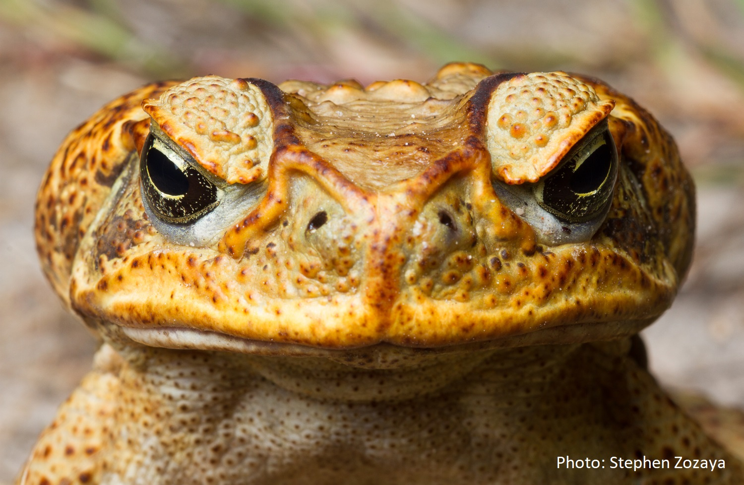 Photo of a cane toad