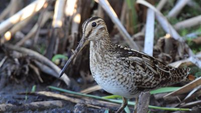 Latham's Snipe Gallinago hardwickii (Regularity: Recorded in 100% of years: 1979-2014)