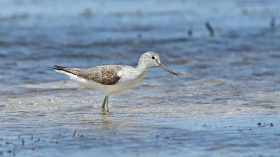 Common Greenshank Tringa nebularia (Regularity: Recorded in 22% of years: 1979-2014)