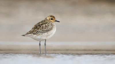 Pacific Golden Plover Pluvialis fulva (Regularity: Recorded in 6% of years: 1979-2014)