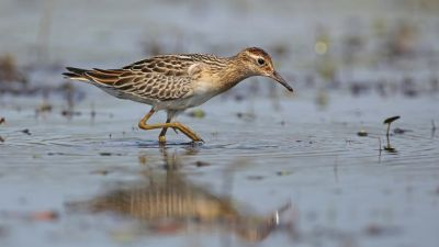Sharp-tailed Sandpiper Calidris acuminata (Regularity: Recorded 78% of years: 1979-2014)