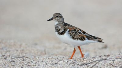 Ruddy Turnstone Arenaria interpres (Regularity: Recorded in 6% of years: 1979-2014)