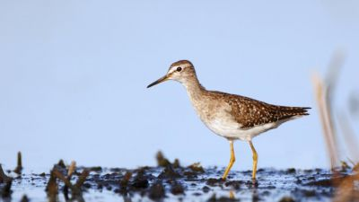Wood Sandpiper Tringa glareola (Regularity: Recorded in 8% of years: 1979-2014)