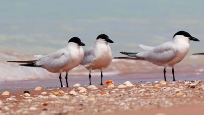 Gull-billed Tern Gelochelidon nilotica (Regularity: Recorded in 3% of years: 1979-2014)